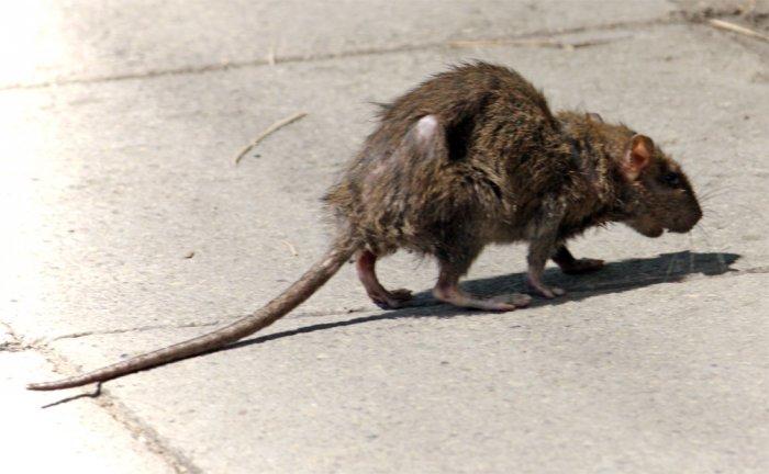 Diverso ma non troppo Ratto-10
