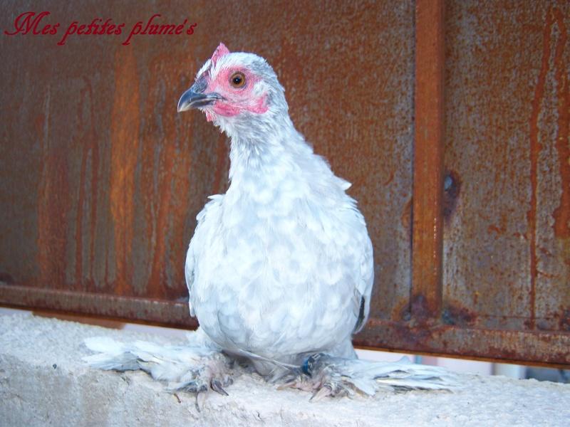 Grande exposition /concours avicole virtuel de fin d'année spécial Gallinacée (100 euros à gagner) Sabelp11