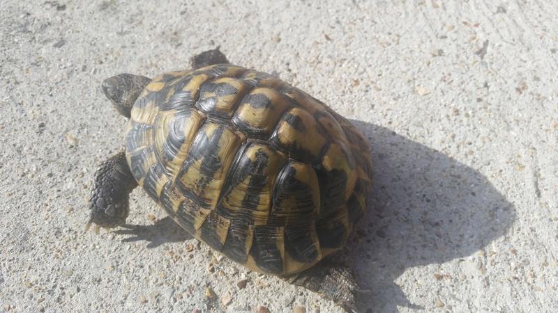 tortue terrestre : mais qui est Alphonse? 20161012