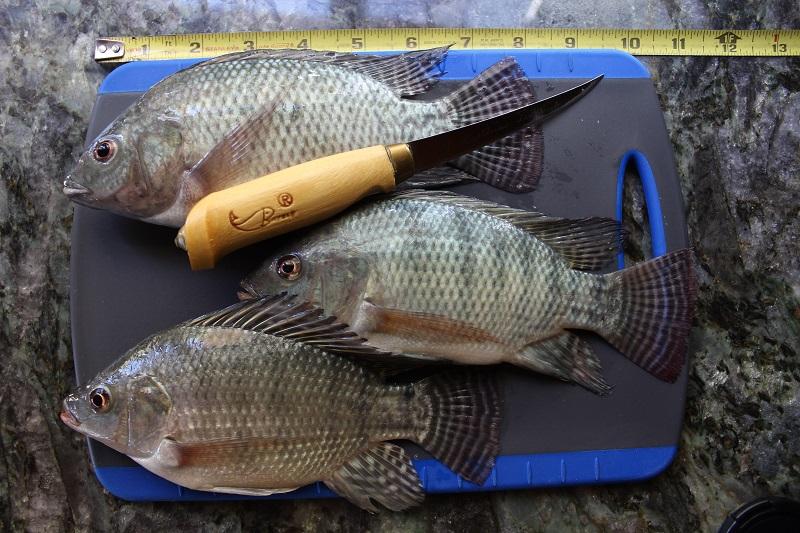 Fishing Report - Lake Chapala - 1 Nov. Img_4911