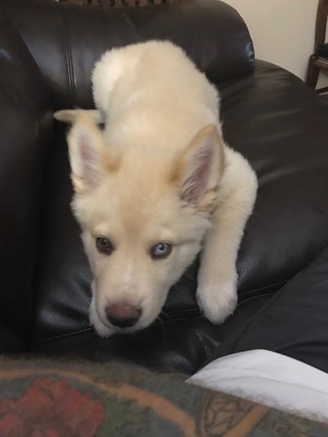 12 Week old Husky Puppy Coat  A9dd7410