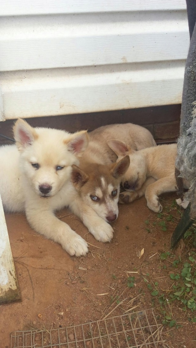 12 Week old Husky Puppy Coat  Img_0210