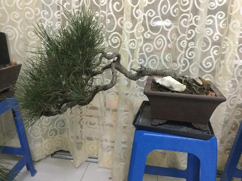 Creating Windswept Pine Img_4310