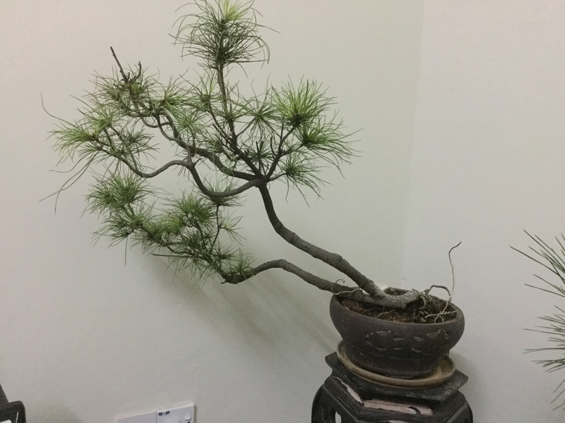 Look Like A Type of Pine Img_4311