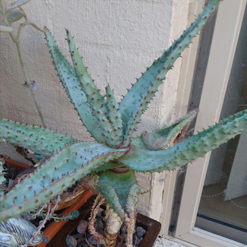 please help with identifying this old cactus of mine. Screen11