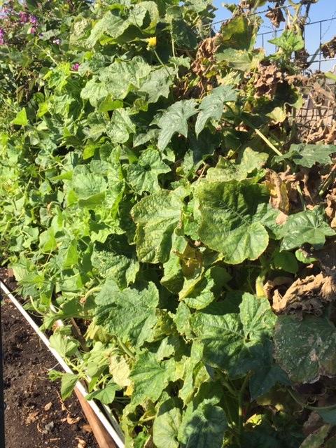 Mùa Thanksgiving thu hoạch & trồng trọt  Bi_muo11