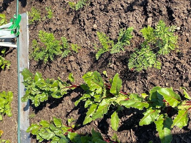 Mùa Thanksgiving thu hoạch & trồng trọt  Carrot10