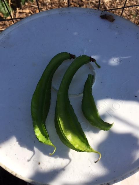 Mùa Thanksgiving thu hoạch & trồng trọt  Dau_ro16