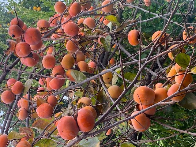 Mùa Thanksgiving thu hoạch & trồng trọt  Img_2315