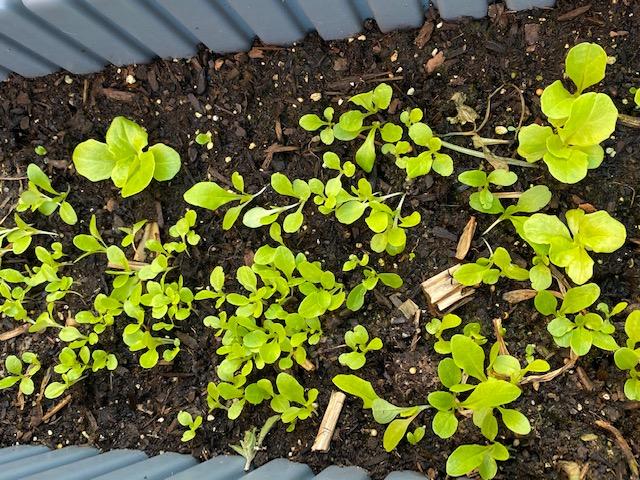 Mấy bé làm vườn - Page 2 Salad10