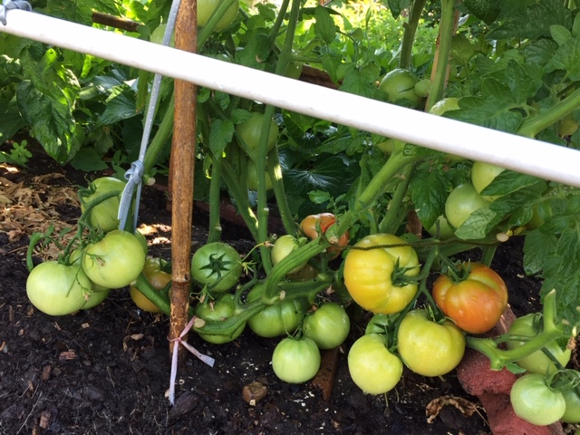 Mùa gặt hái tới rồi  Tomato11