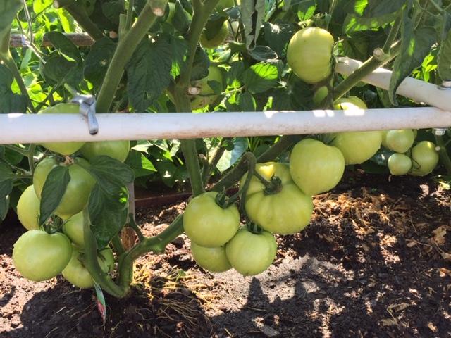 Mùa gặt hái tới rồi  Tomato12