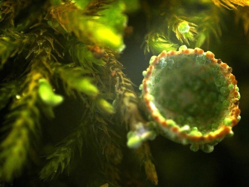 """Défi concours : """" Fantastiques Lichens  """"- Participations  1_clad10"""