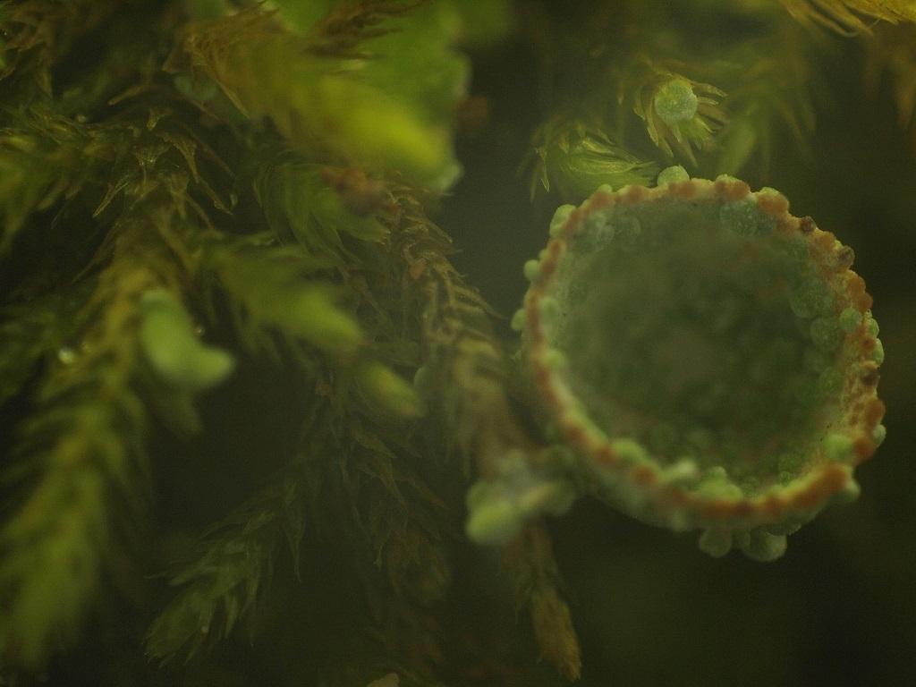 Lichens à identifier 211