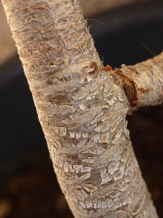 Aeonium arboreum déformé Aeoniu10