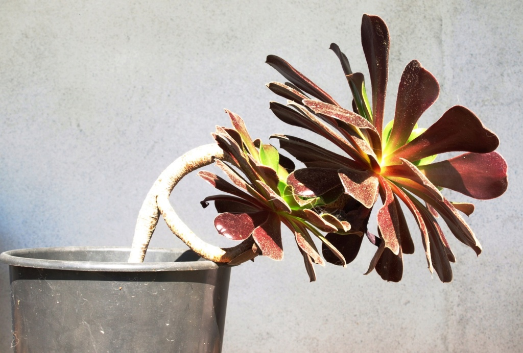 Aeonium arboreum déformé Aeoniu12