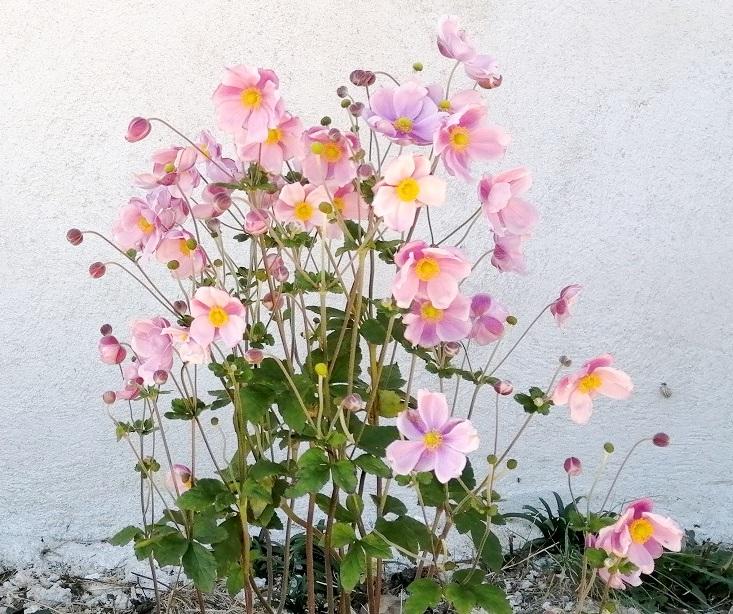 Anemone hupehensis - anémone de Chine ; Anemone hupehensis var. japonica - anémone du Japon - Page 2 Anemon10