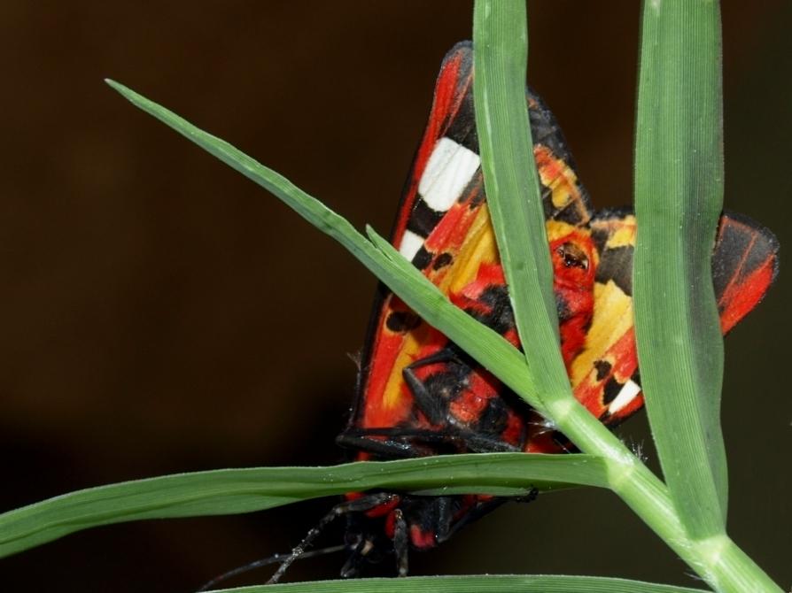 fil(et) à papillons - Page 17 Arctia10