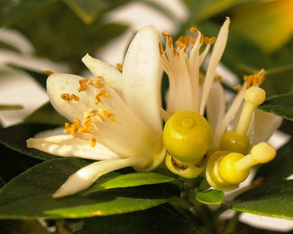Citrus x aurantium 'Myrtifolia' Citrus11