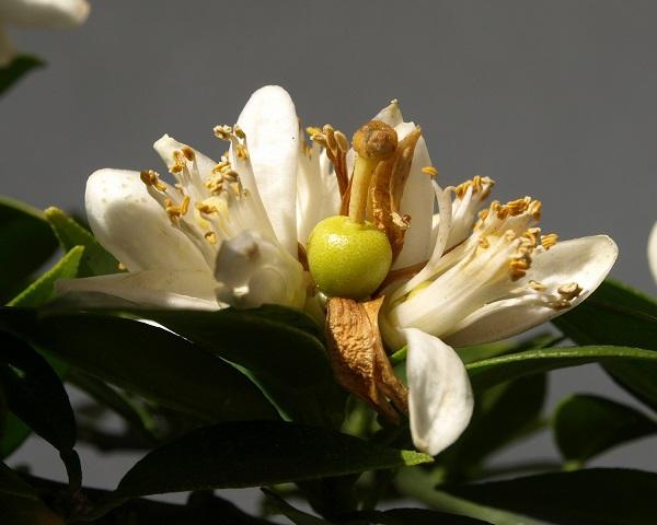 Citrus x aurantium 'Myrtifolia' Citrus12