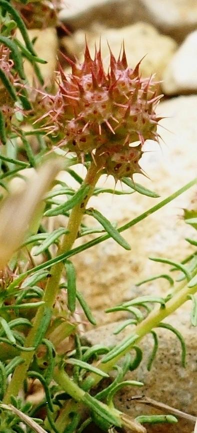 Coris monspeliensis - coris de Montpellier Coris_10