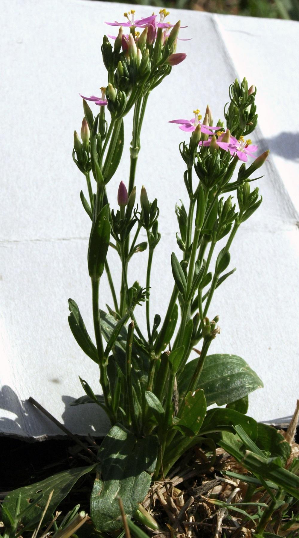 Inconnue dans mon jardin: Centaurium erythraea-[Identification] F1_12c10