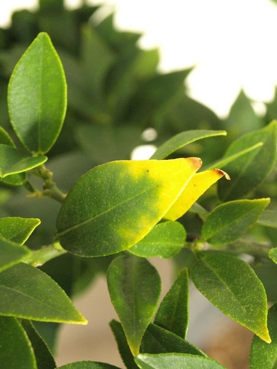 Citrus x aurantium 'Myrtifolia' Feuill12
