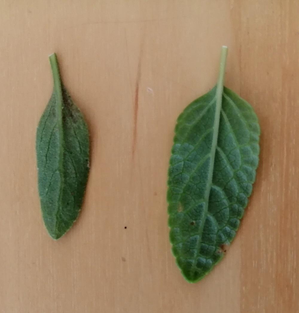 Salvia - identification des sauges - Page 7 Feuill16