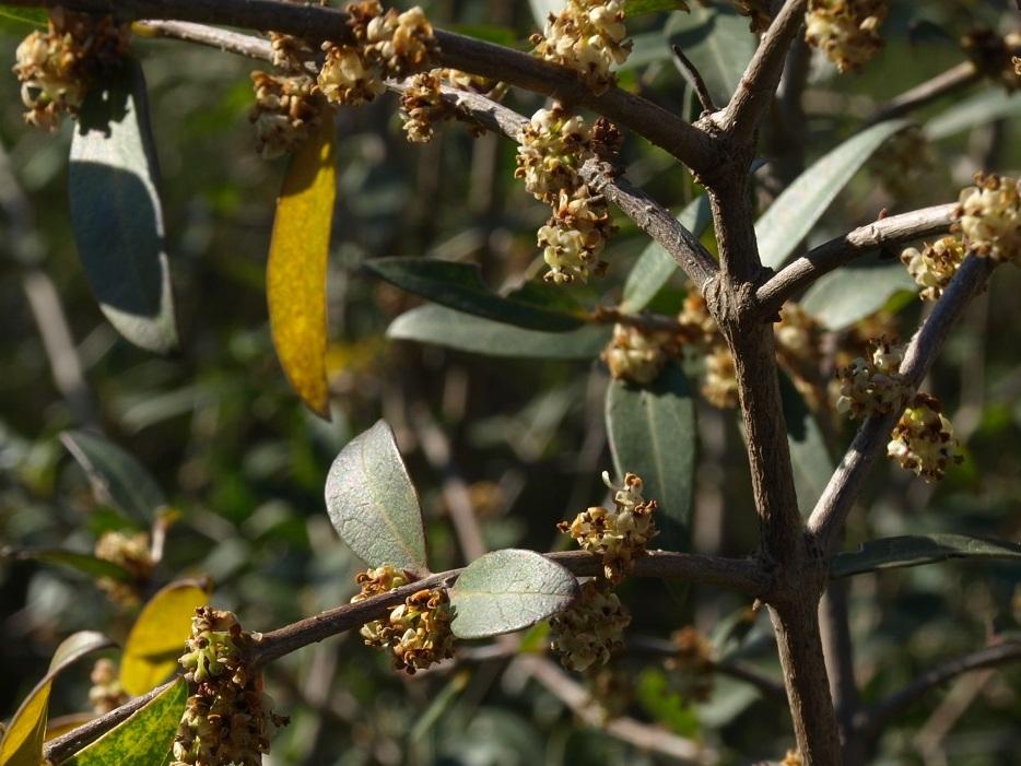 Phillyrea latifolia - filaire à feuilles larges Filair11