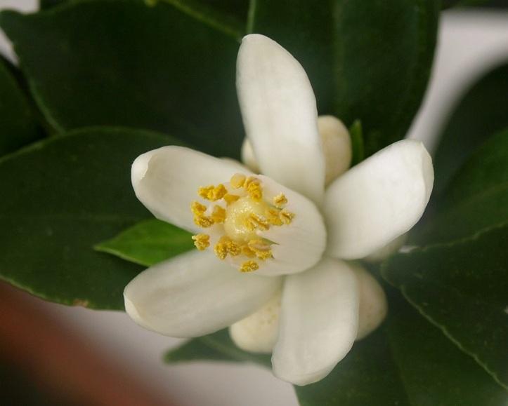Citrus x aurantium 'Myrtifolia' Fleur11