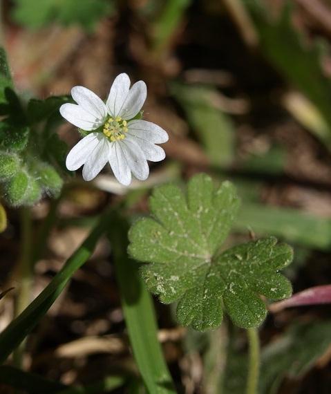 Geranium molle - [identification] Gerani11
