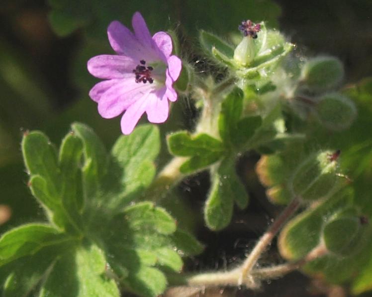 Geranium molle - [identification] Gzoran10