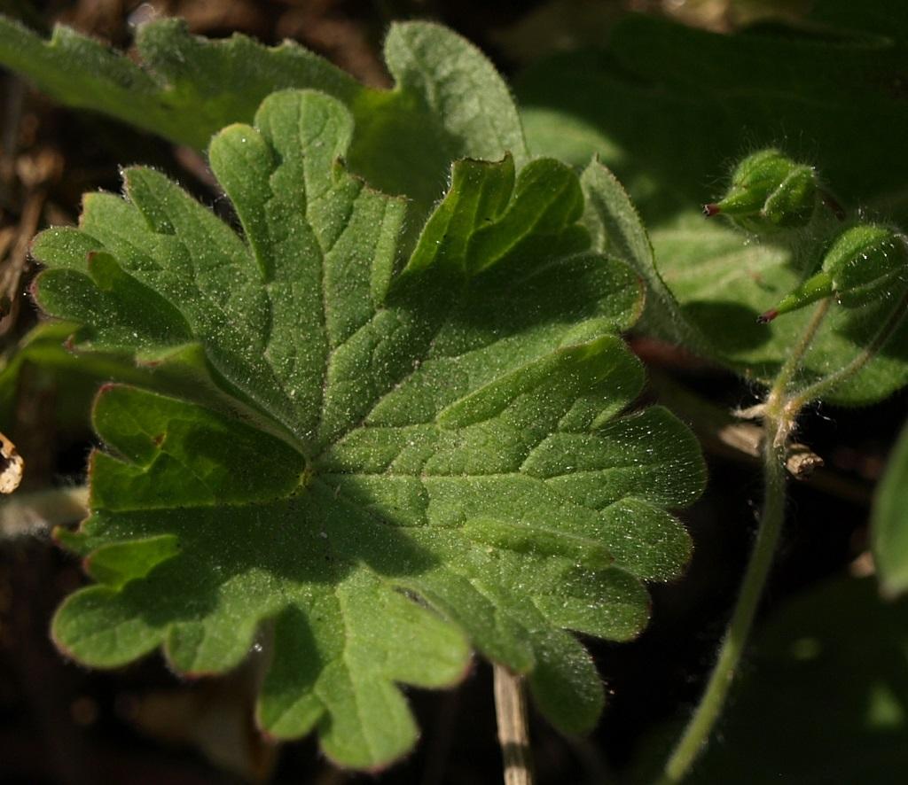 Geranium molle - [identification] Gzoran12