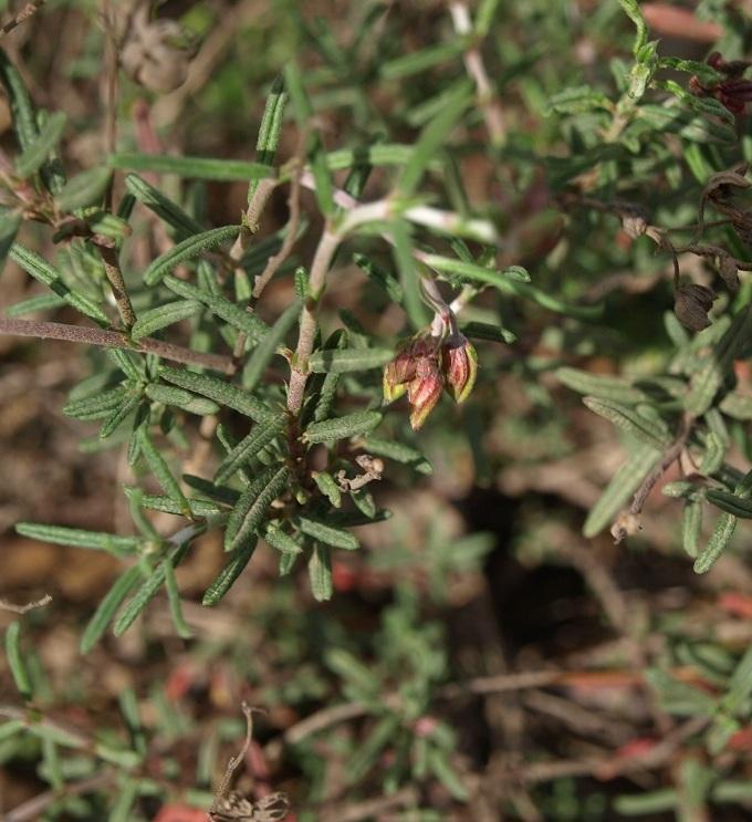 Helianthemum apenninum [identification] Helian10