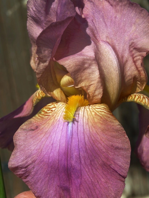 Iris nuancé Iris_210