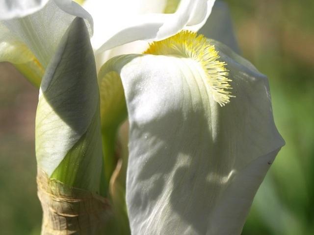 Iris blanc à Identifier [identifié Florentina alba] Iris_b10