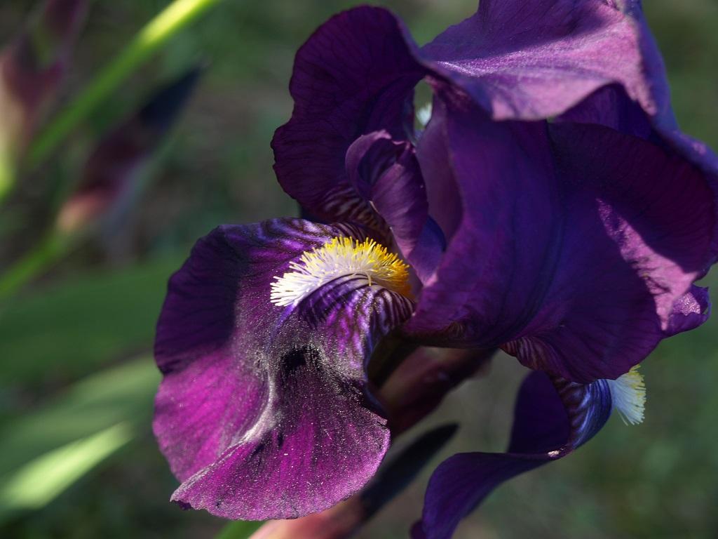 Iris violet à identifier Iris_v11