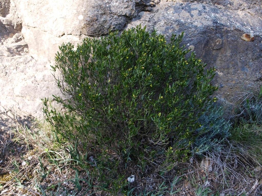 Cneorum tricoccon - camélée J_111