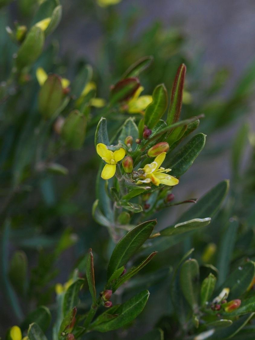 Cneorum tricoccon - camélée J_210
