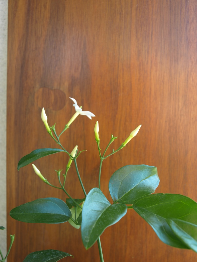 Jasminum azoricum - [identification] Jasmin11