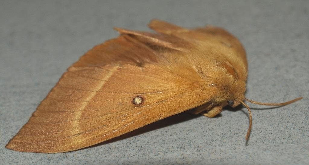 fil(et) à papillons - Page 17 Lasioc10