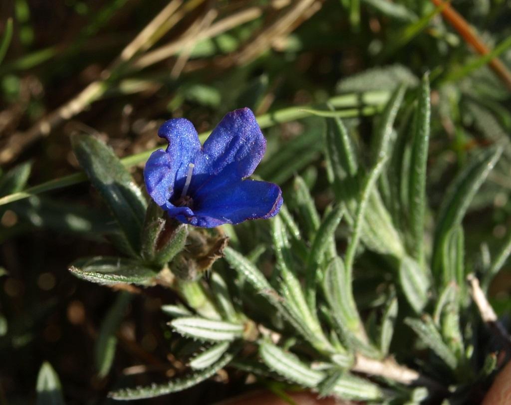 Lithodora fruticosa - grémil ligneux Lithod11