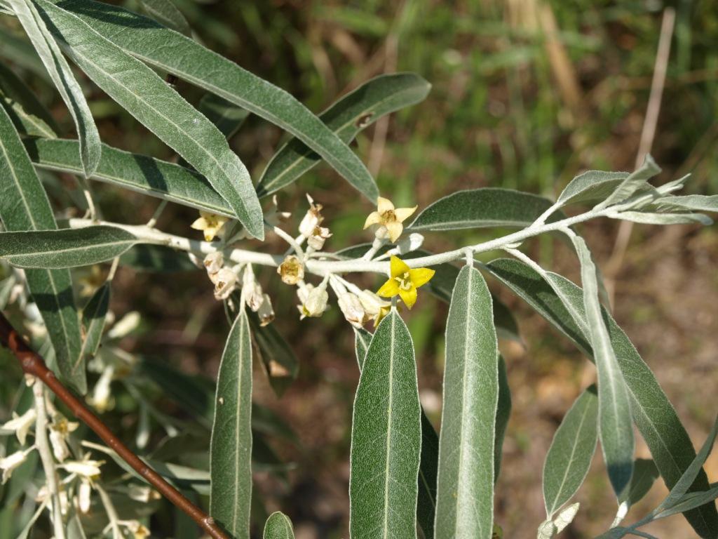 Elaeagnus angustifolia - olivier de bohême Olivie10