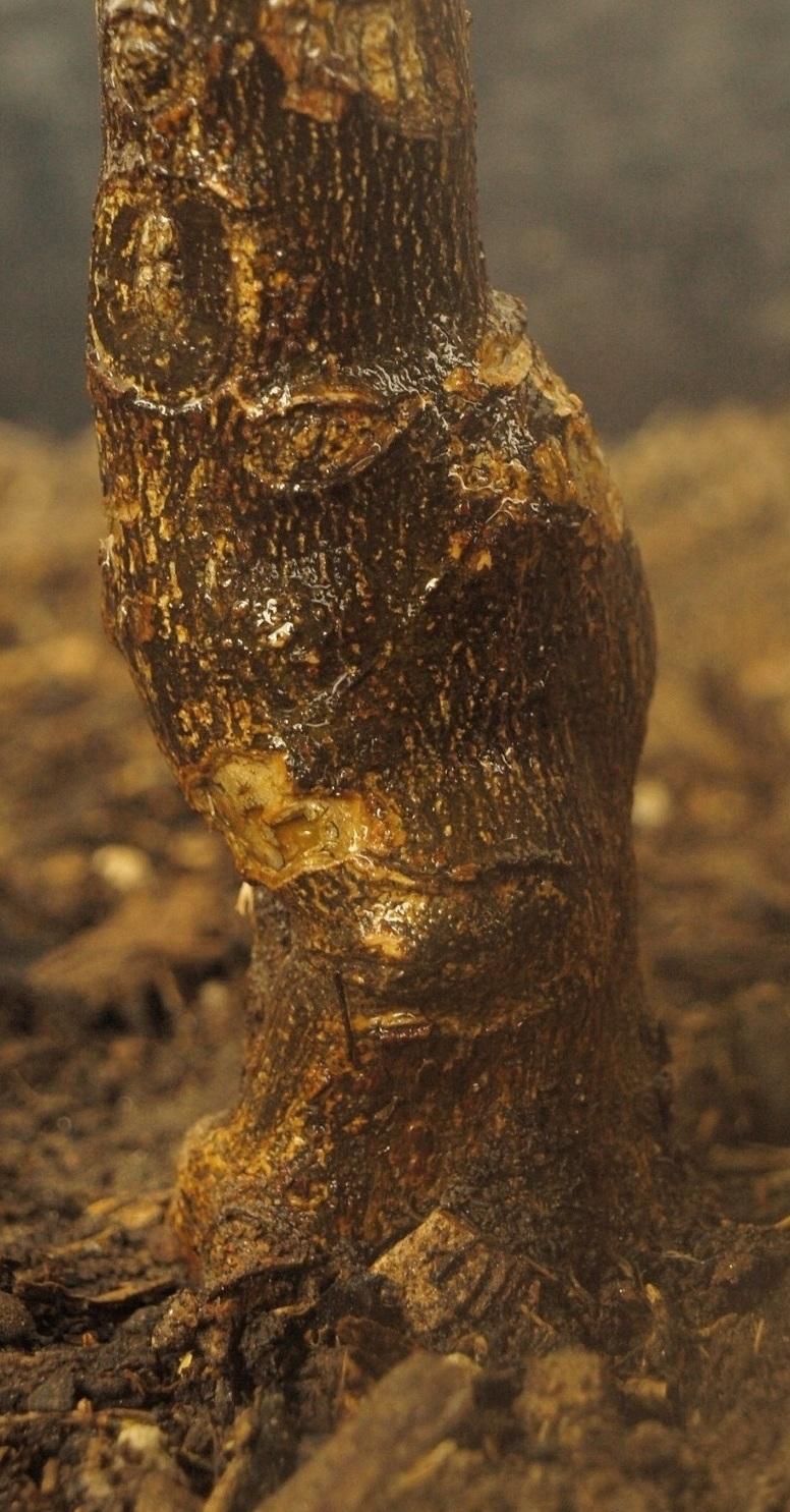 Citrus x aurantium 'Myrtifolia' Point_10