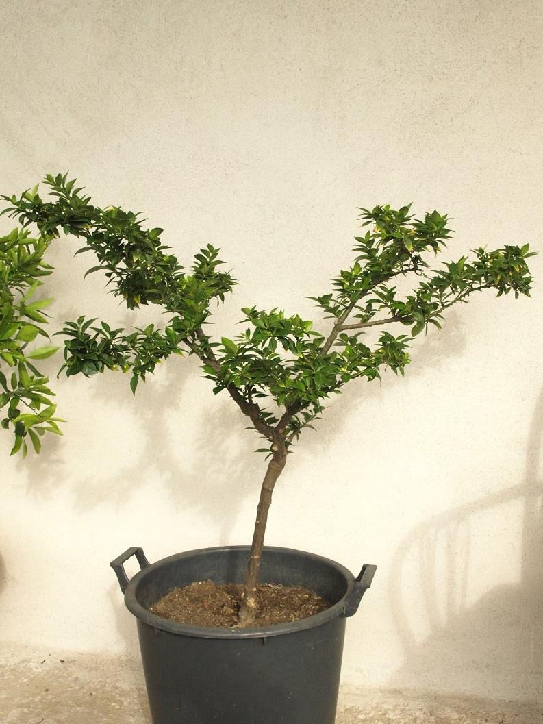 Citrus x aurantium 'Myrtifolia' Port12