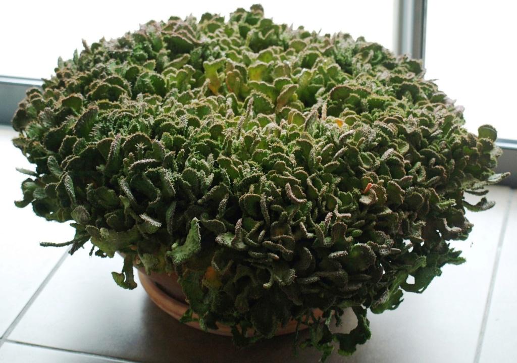 Euphorbia pugniformis fa cristata ou ... Pugnif10