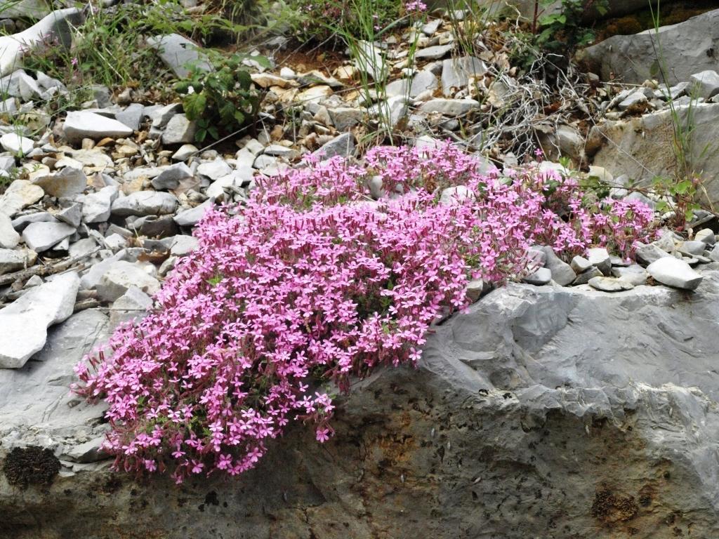 flore des vieux murs, rochers  et rocailles naturelles - Page 8 Sapona10