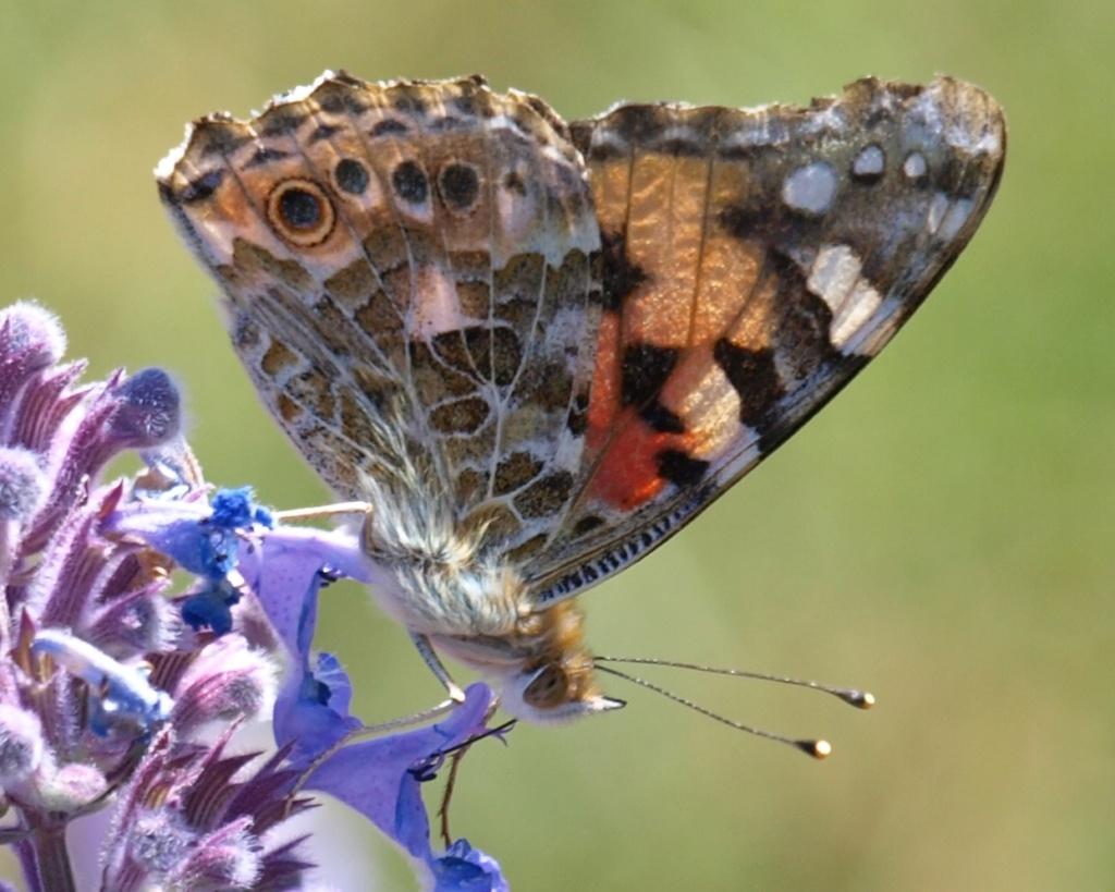 fil(et) à papillons - Page 17 Vaness10