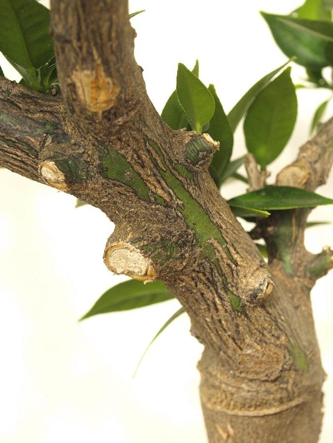 Citrus x aurantium 'Myrtifolia' Zocorc10