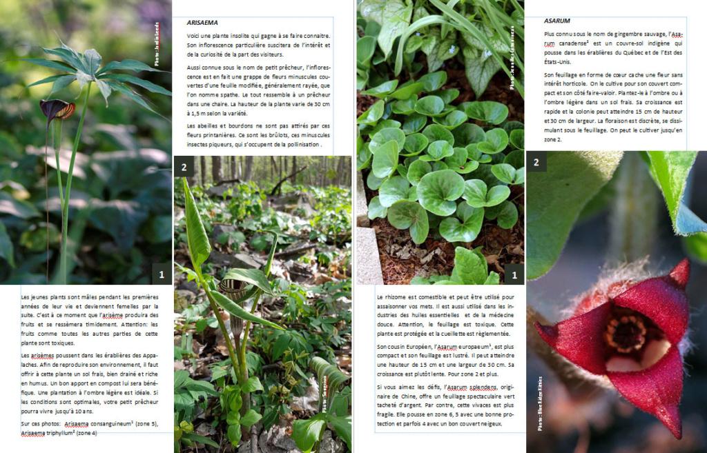 Plantes d'ombre - magazine - Page 2 Arisae10